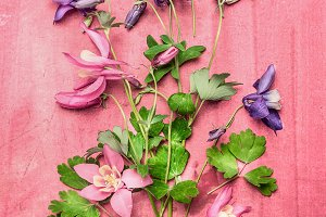 Columbine flowers flat lay