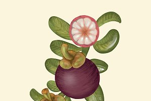 Purple mangosteen isolated