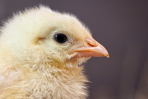 Portrait of a newborn yellow chicken