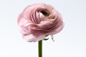 Dusty Pink Ranunculus | Floral Photo