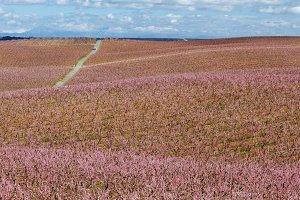 Peach fields in bloom