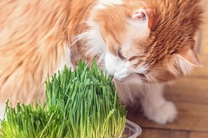 Adult red cat eats sprouted grass