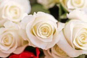 Beauty white roses