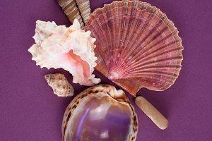 Shells on violet