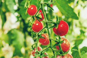 tomatoes on a branch ripe red. Selec