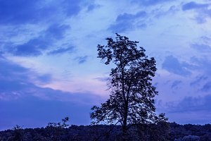 Summer high tree on blue sunset