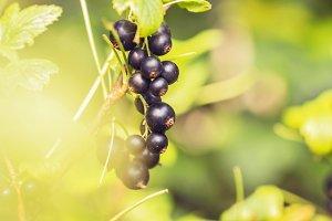 Ripe black currant on branch