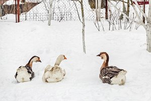 Three adult gooses in snow