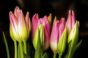 Buds of pink elegance tulips