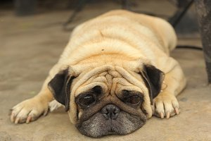 Close-up face of Cute pug dog sleeping rest on siesta