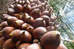 Babassu nut