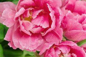 Pink tulip flowers water drops