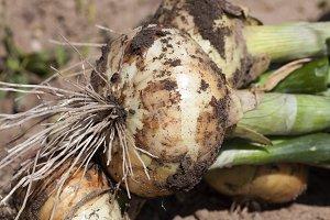 new onion harvest