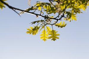 oak blooming