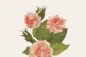 Drawing of garden roses