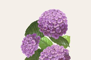 Drawing of Hydrangea