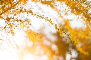 Mesquite Blossoms 1