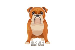 British Bulldog medium-sized breed, English bulldog muscular, hefty puppy