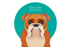 English bulldog medium-sized breed, British Bulldog muscular, hefty puppy