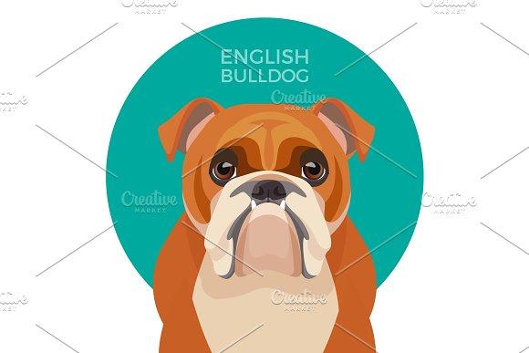 English Bulldog Medium-sized Breed British Bulldog Muscular Hefty Puppy