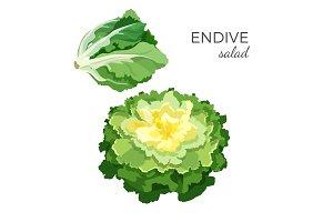 Endive salad fresh organic vegetarian vegetable vector illustration