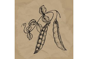 Hand drawn sketch peas with leafs. Farm fresh veggies. Organic food. Vector illustration EPS10