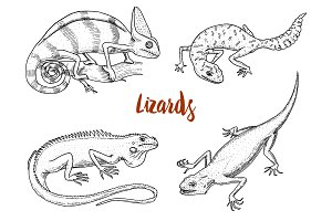 Chameleon Lizard, American green iguana, reptiles or snakes or spotted fat-tailed gecko. herbivorous species. vector illustration for book or pet store, zoo. engraved hand drawn in old sketch.