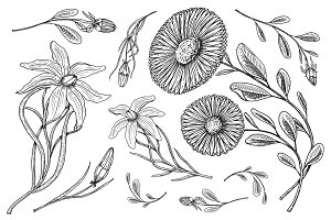 Lily with leaves and buds, herb medicinal chamomile. Wedding botanical flowers in the garden or spring plant. design for card. Vector illustration. engraved hand drawn in old victorian sketch.