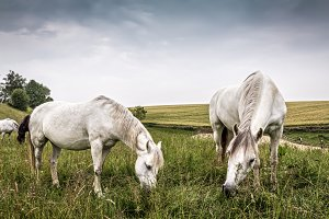 Horses grazing in a country of north