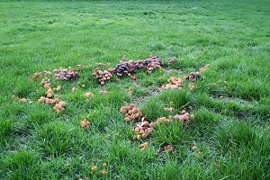 Mushroom cluster in green field