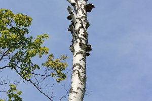 Birch Tree in Door County