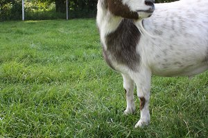 Goat on Farm in Door County