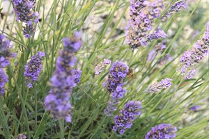 Lavender Farm in Door County
