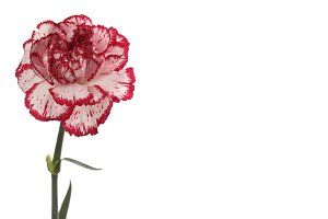 White and red carnation flower