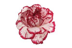 carnation flower on white