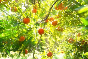 Orange fruits in the garden.