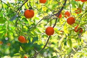 Oranges on plant.