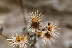 Autumn dry thistle