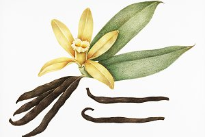 Illustration of vanilla (PSD)