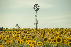 Sunflowers and a windmill in a field
