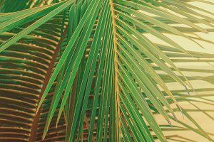 Close up green palm leaves