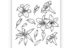 Hand drawn elegant lily flowers