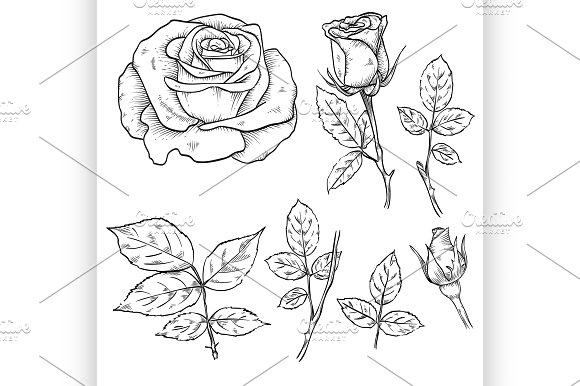 Hand Drawn Elegant Rose Flowers