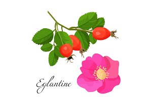 Eglantine blossom and branch with red fruits set