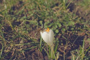 White crocus and bee