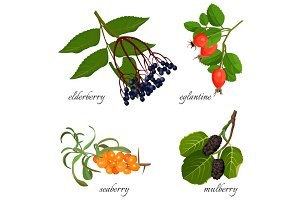 Blue elderberry, ripe eglantine, fresh seaberry and sweet mulberry