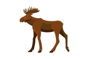 Wild adult moose with big branchy horns and strong legs