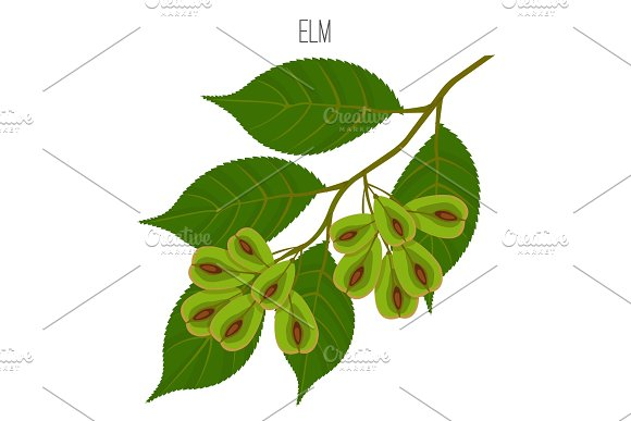 Elm Leaves With Serrate Margins Fruit Round Wind-dispersed Samara