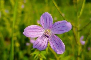 Violet Field Flower