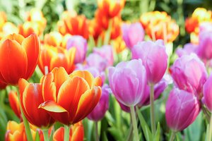 colorful of tulip flowers